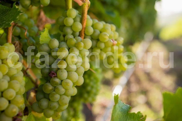 Ошибки при обрезке винограда