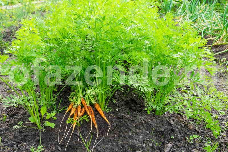 Когда убирать, как собрать и хранить морковь