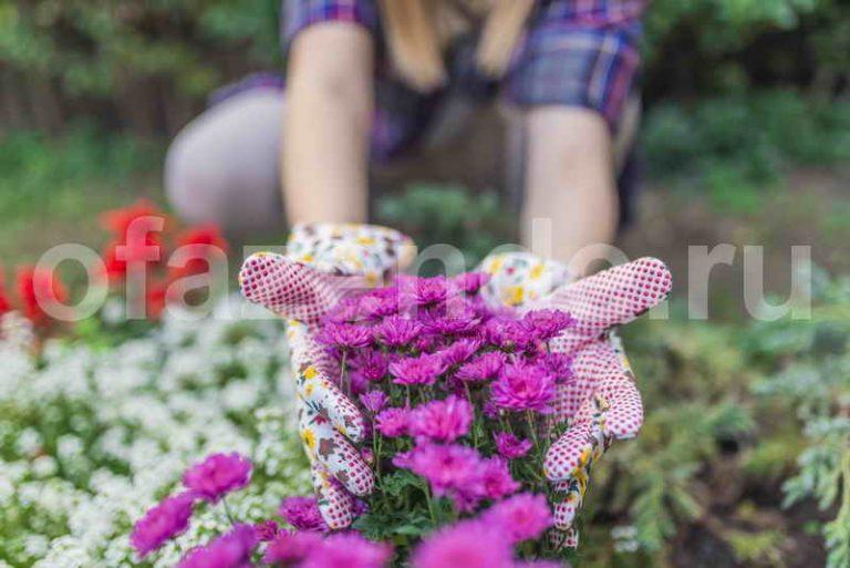 Посадка хризантем на садовом участке