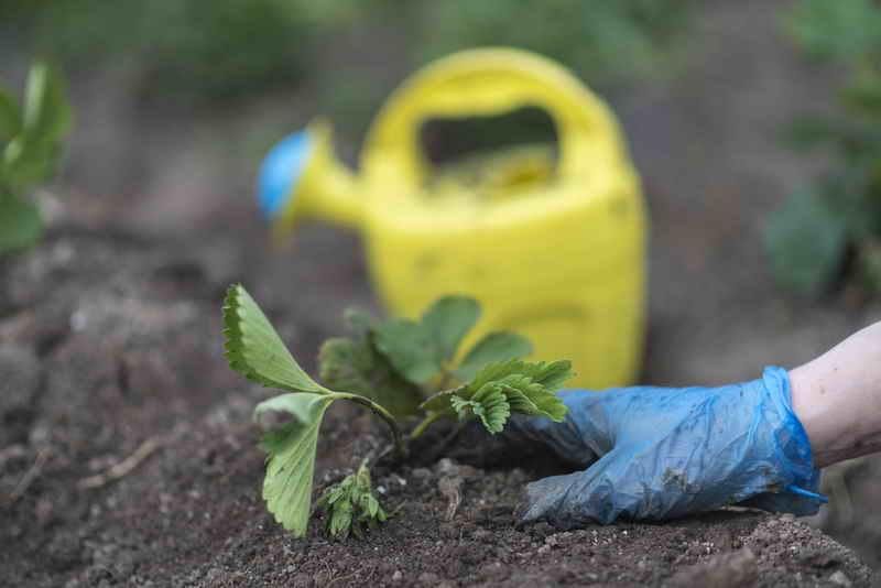 Как сажать клубнику в августе, чтобы не беспокоиться об урожае в следующем году?
