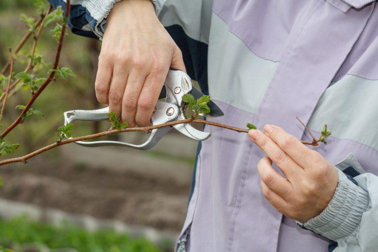 Легкий способ выращивания ремонтантной малины