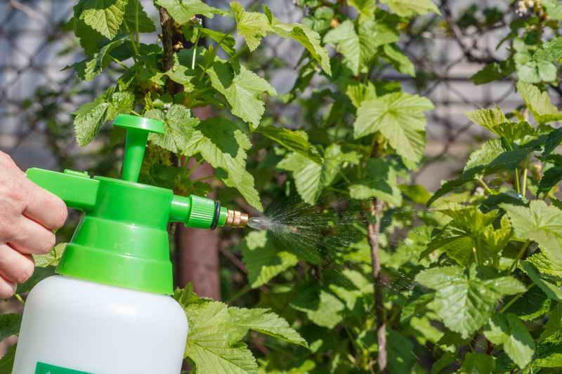 Как обрабатывать кусты малины и смородины