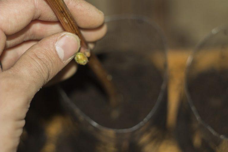 Полезные советы дачникам: секреты черенков, польза отходов