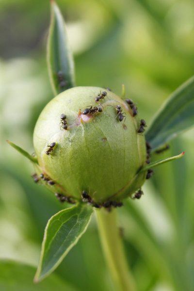 Народные методы борьбы с муравьями на пионах