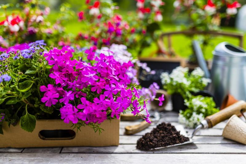 Цветение флоксов многолетних