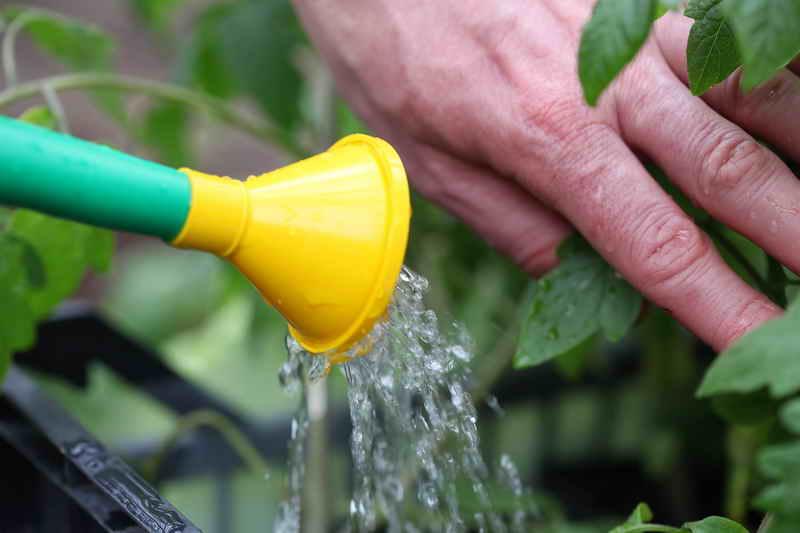 Как правильно поливать томаты?