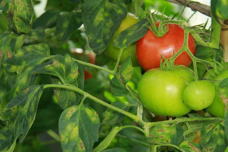 Болезни помидоров и меры борьбы с ними