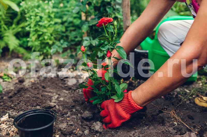 Выращивание роз в саду