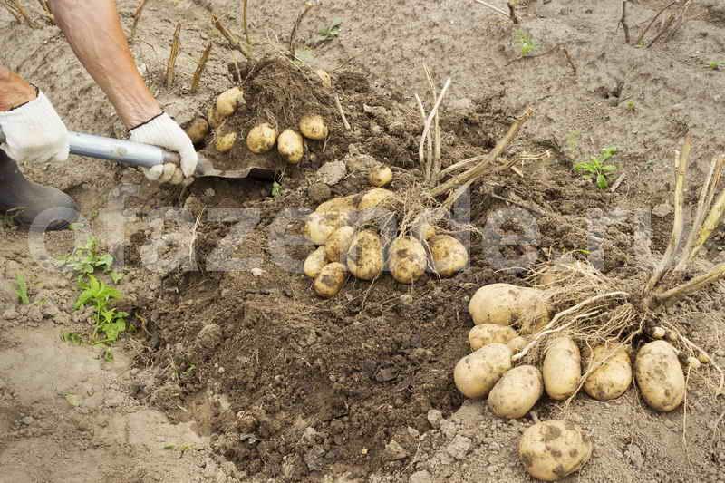 9 советов по выращиванию картошки