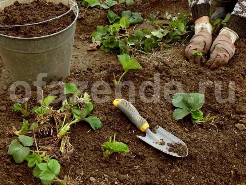 Схема посадки клубники в открытом грунте в августе