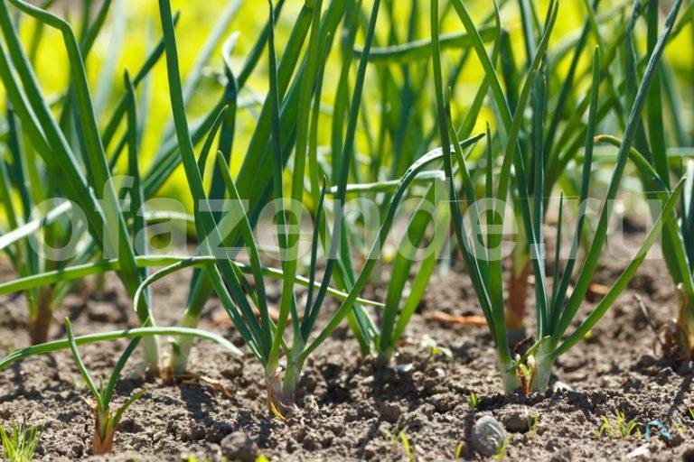 Как помочь луковым перьям снова зазеленеть