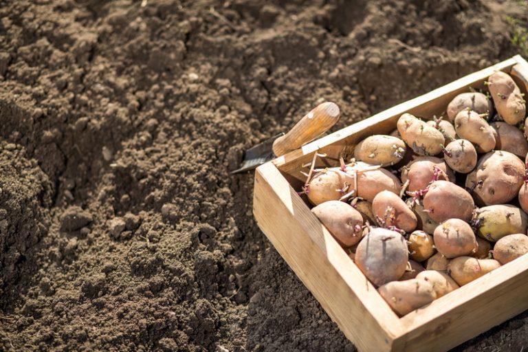Как обновить сорт картофеля: 5 способов