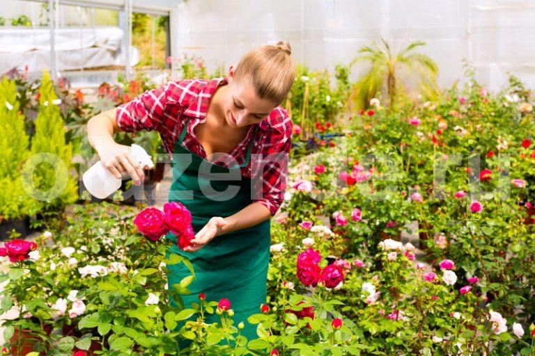 """Используем """"Тройчатку"""" для проращивания роз"""