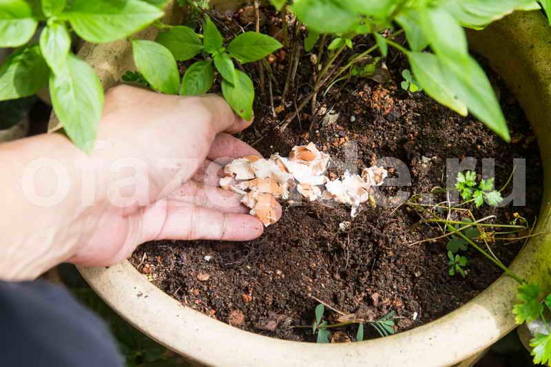 Используем яичную скорлупу на даче и дома