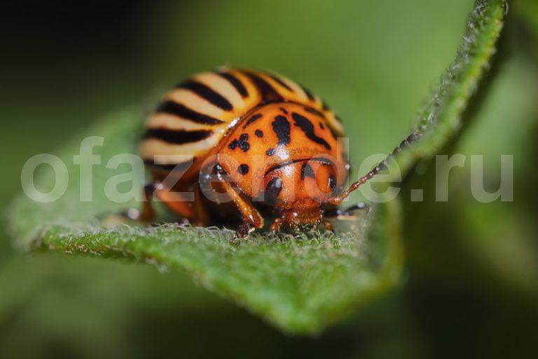 Избавляемся от колорадского жука без химии
