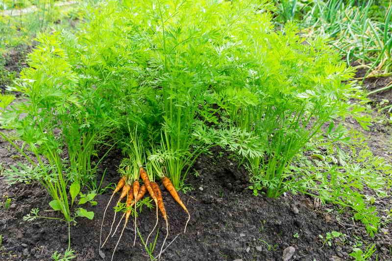 Грядку для моркови готовь осенью