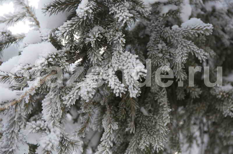 Как подготовить хвойные растения к зимовке?