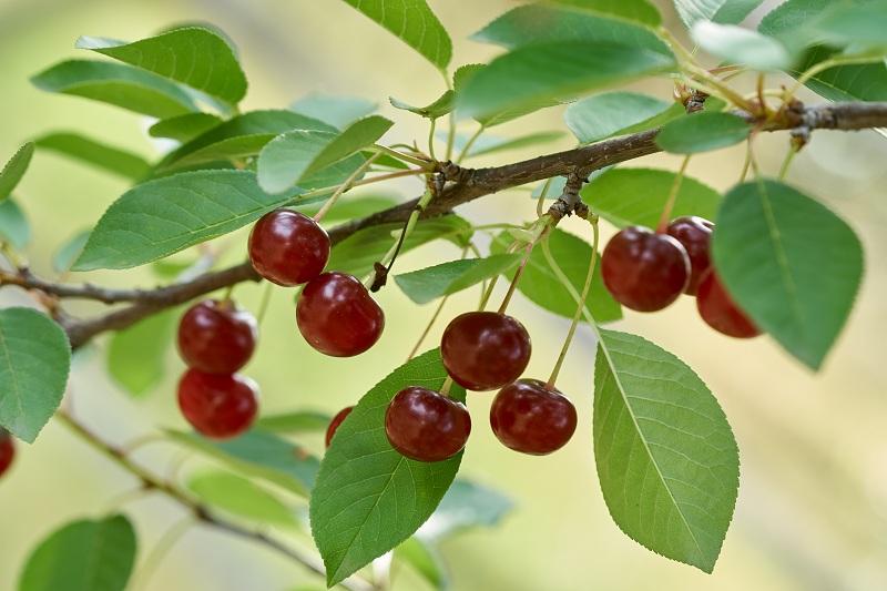Причины плохого роста и гибели вишни, эпидемии монилиоза, коккомикоза