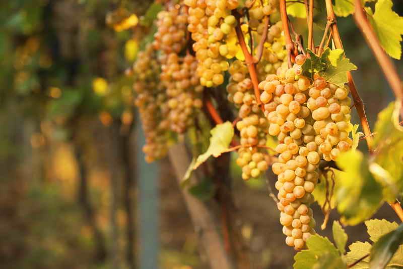 Как защитить виноград от холодов
