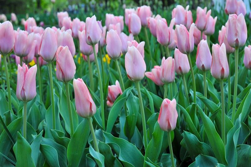 Сажаем тюльпаны осенью