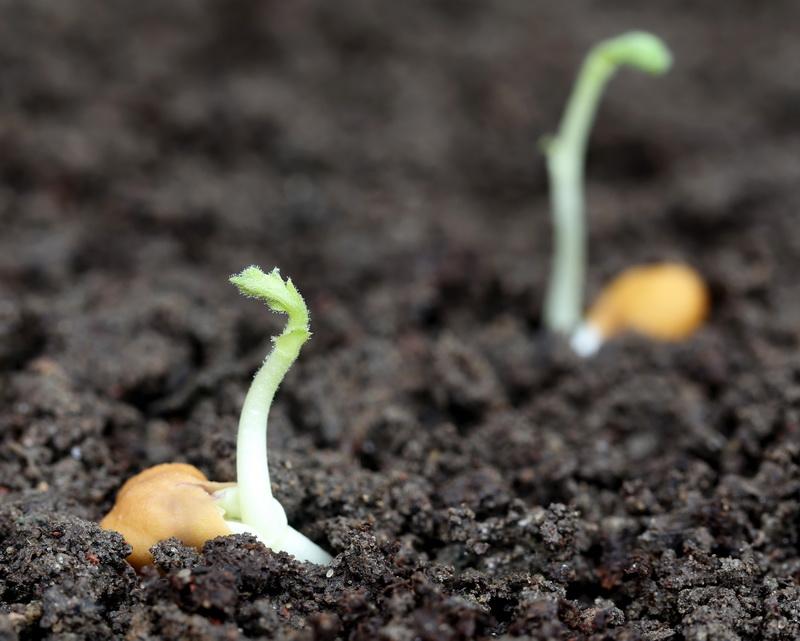 Какой горох можно посеять в августе – лучшие сорта и правильная агротехника