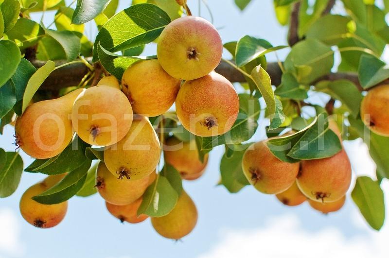Как заставить деревья плодоносить: эффективные способы
