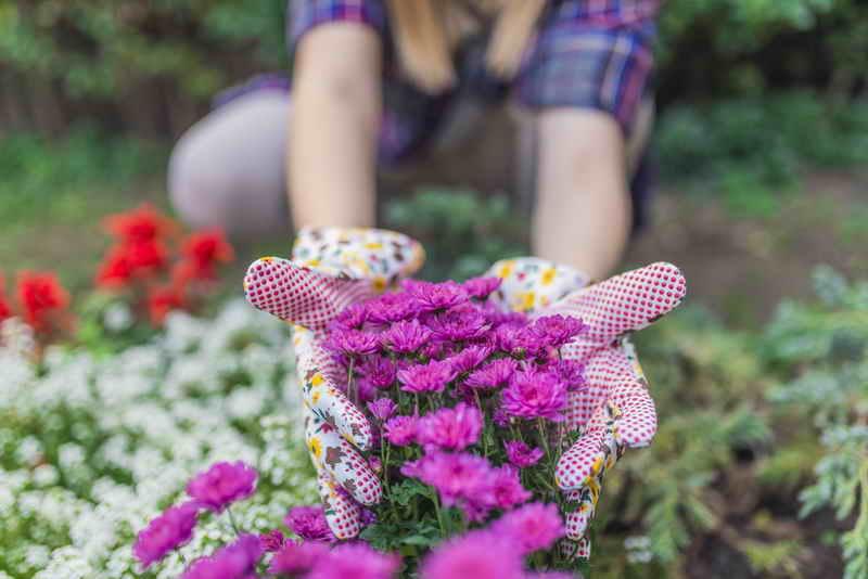 Как ускорить цветение хризантем