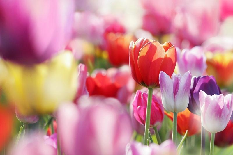 Готовим тюльпаны к посадке
