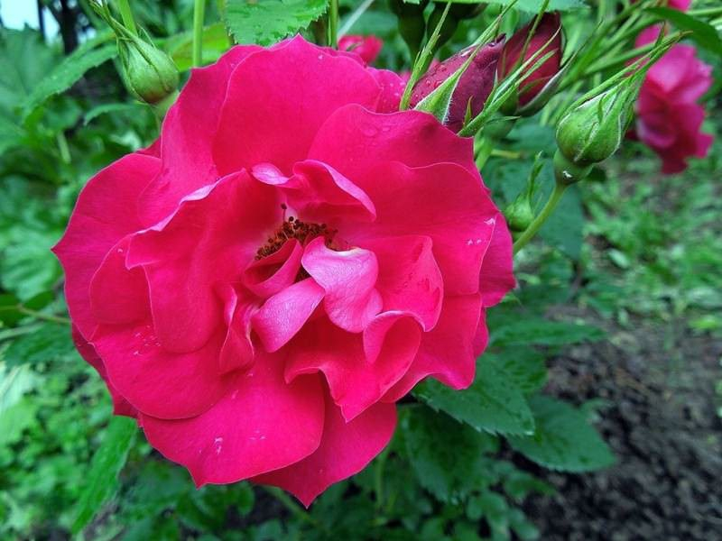 Морозоустойчивые и неприхотливые - канадские розы