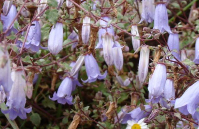 Симфиандра: виды, выращивание