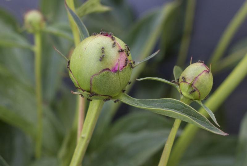 Болезни и вредители пионов: фото, описание и лечение