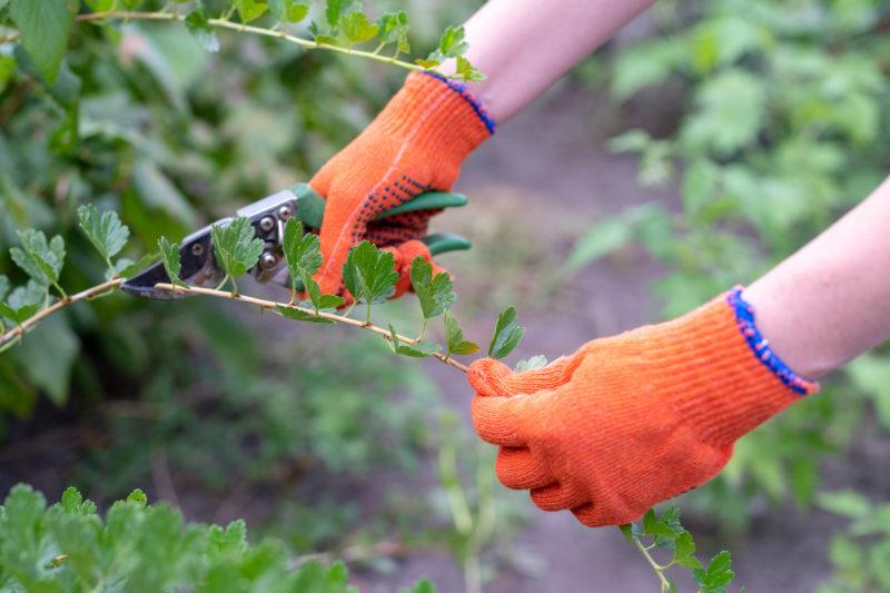 Последняя осенняя обработка крыжовника, смородины и плодовых деревьев