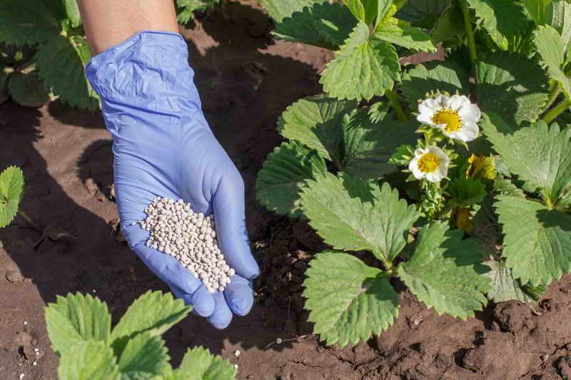 Несколько советов которые помогут увеличить урожай клубники в 2-3 раза