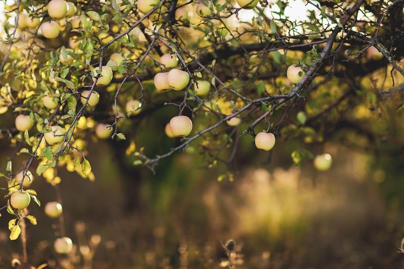 Осенняя подкормка яблони и груши для зимовки и урожая