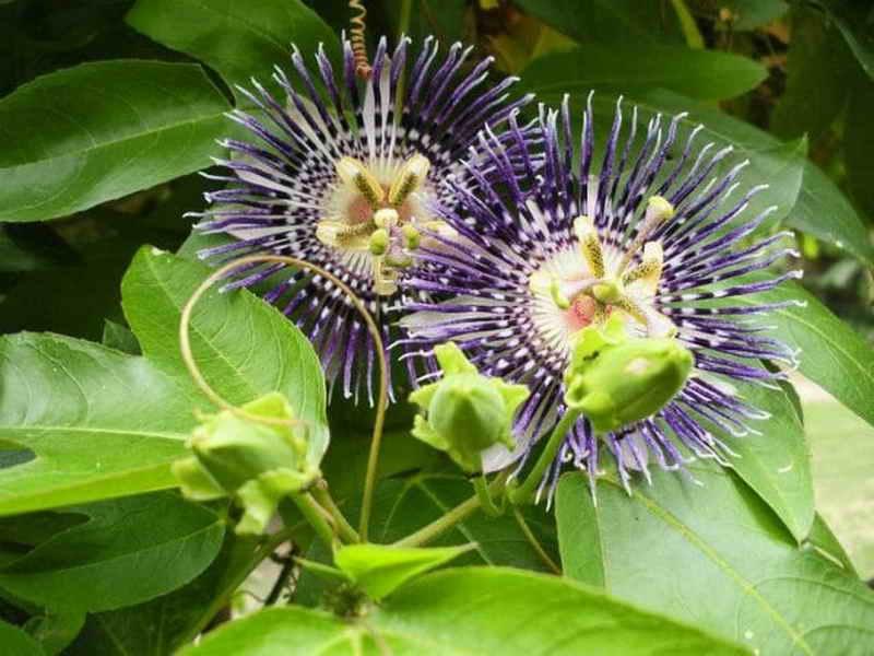 Страстоцвет: виды, выращивание