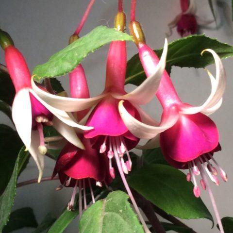 Растение Фуксия: фото, виды, выращивание, посадка и уход в домашних условиях
