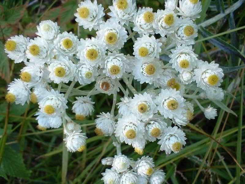 Цветение травянистых многолетников в вашем саду: советы садоводам