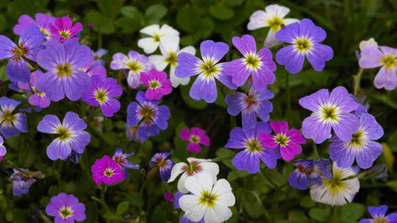 Малькольмия: фото, виды, выращивание из семян, посадка и уход