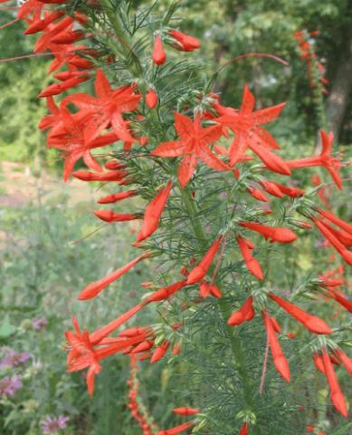 4 сорта Гилии: секреты выращивания