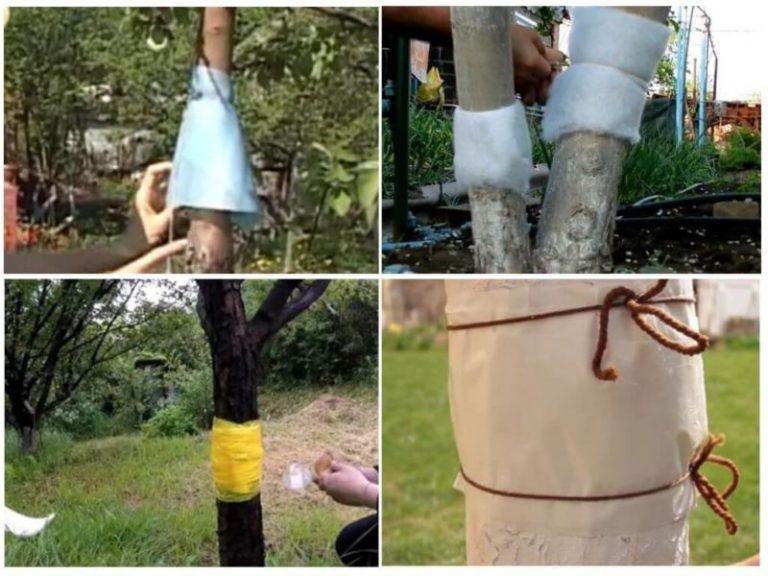 Ловчий пояс для защиты деревьев: когда накладывать и снимать