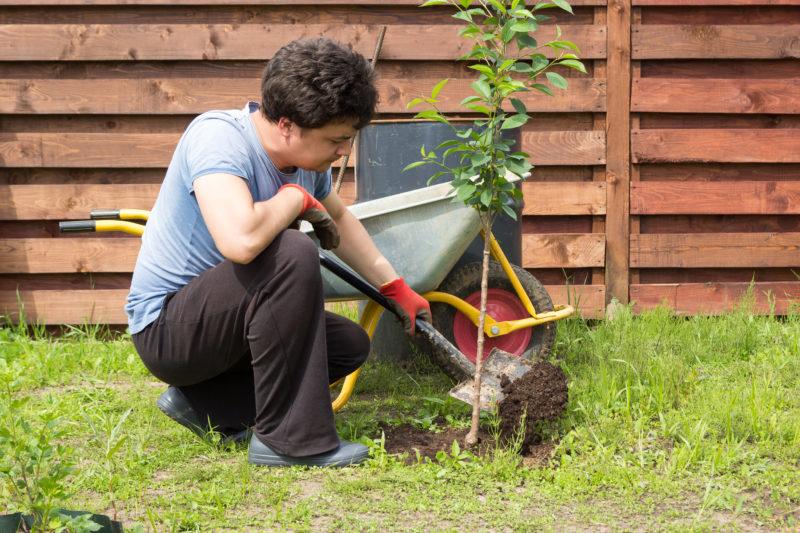 Подкормка вишни и черешни: варианты подкормок
