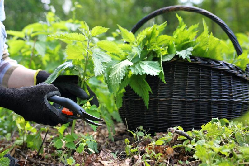 Свойства крапивы, как ее правильно применять в огороде
