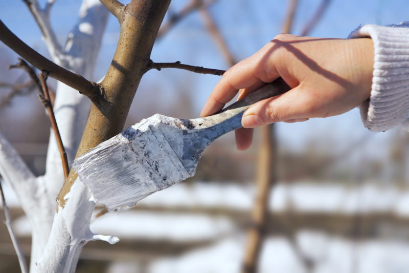 Как правильно побелить деревья в саду осенью