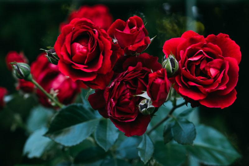 Несколько проверенных способов, как сохранить саженцы роз до весны