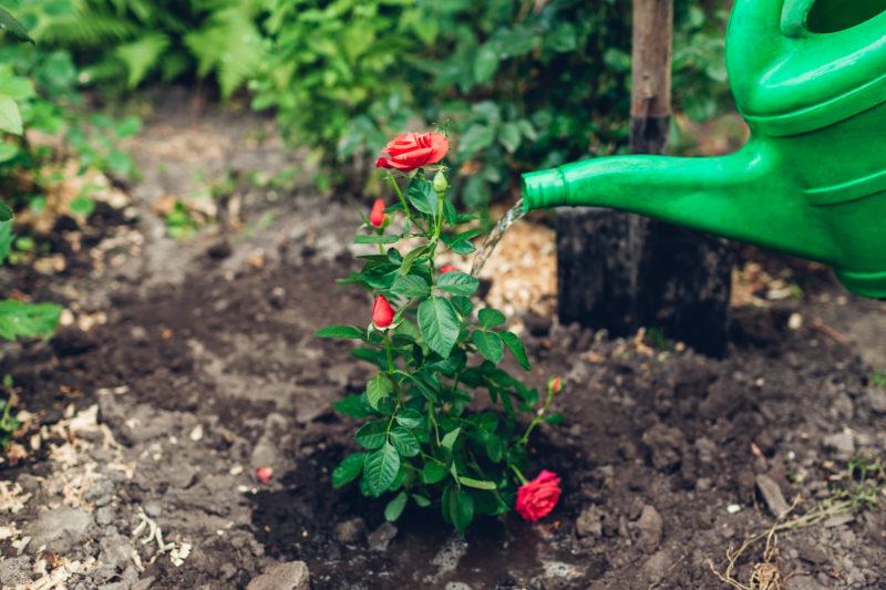 Размножение роз отводками весной своими руками