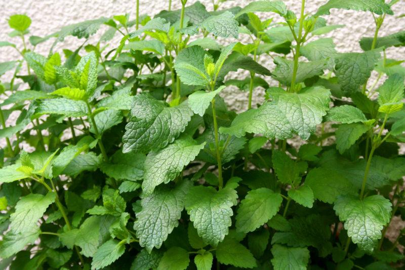 Несколько причин посадить мяту в огороде