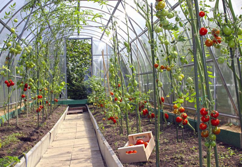 Что делать с листьями томата – обрезать или оставить на кусте?