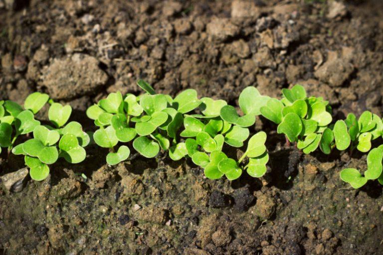 Как получить первый урожай редиса уже в апреле?