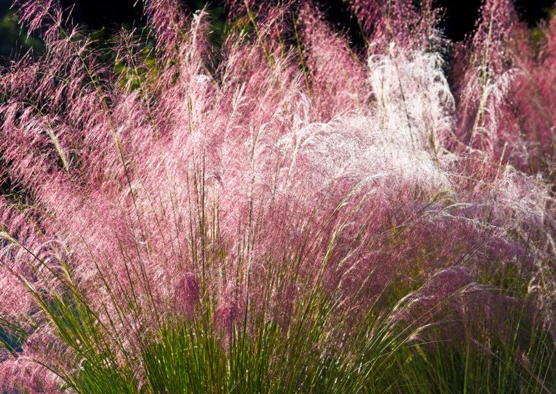 Декоративные злаки и травы для средней полосы – они точно не вымерзнут зимой