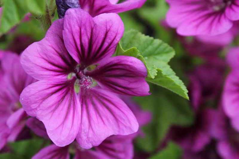Растение Малопа: фото, виды, выращивание, посадка и уход в открытом грунте